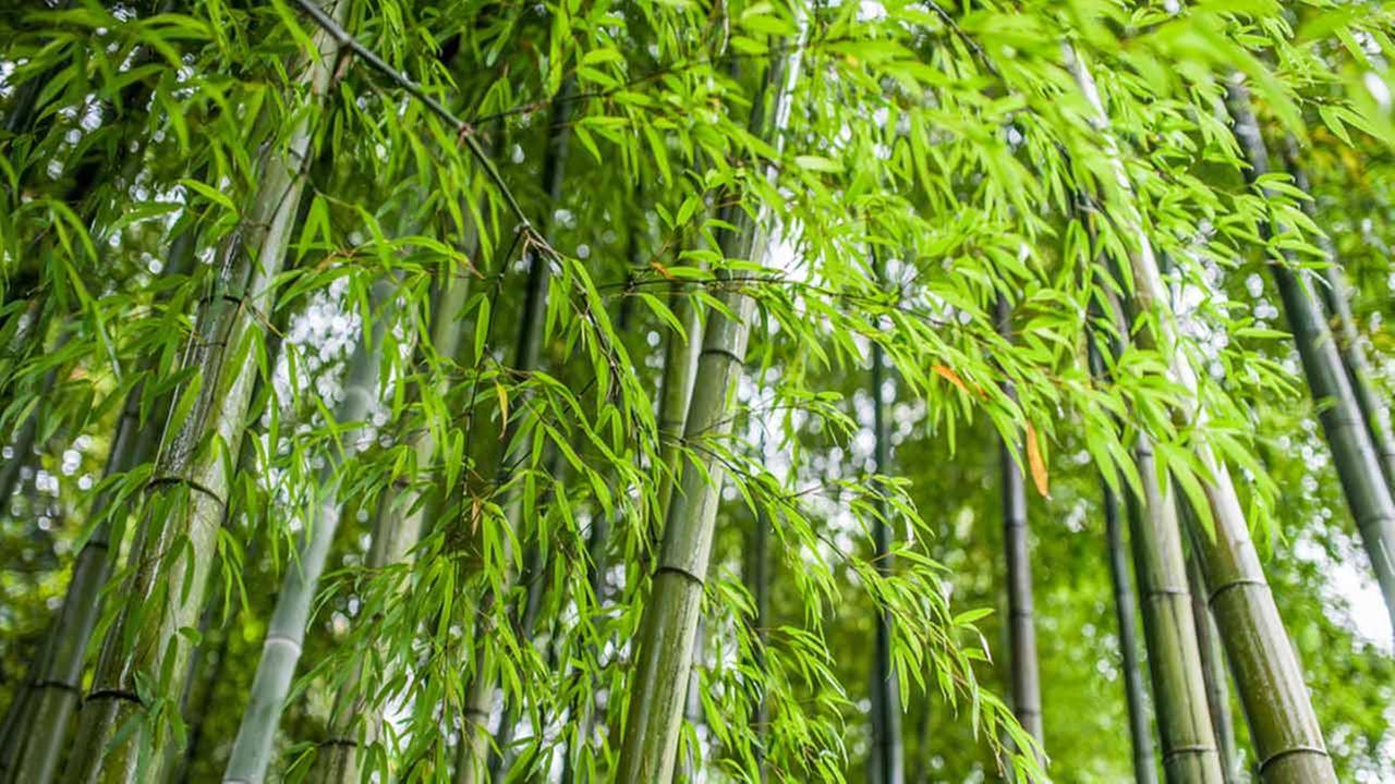 Pennsylvania city's measure to ban bamboo moving forward