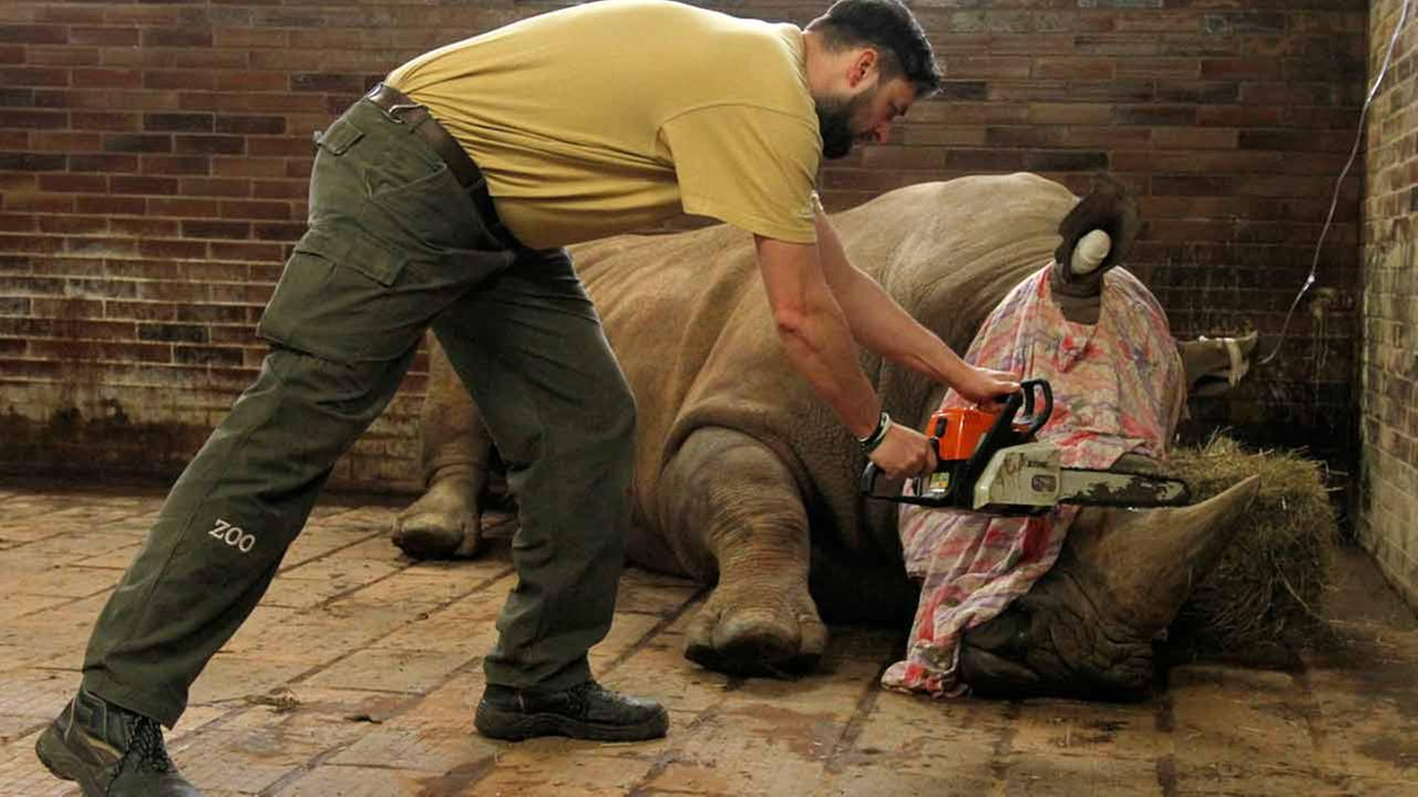 A zoo keeper removes a horn of Pamir, a southern white rhino, as one of the safety measures to reduce the risk of any potential poaching attack.