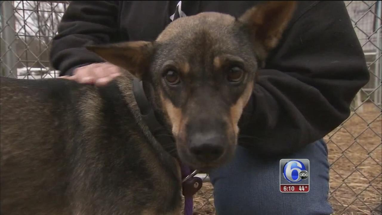 Dogs rescued from Thailand up for adoption at Delco animal shelter