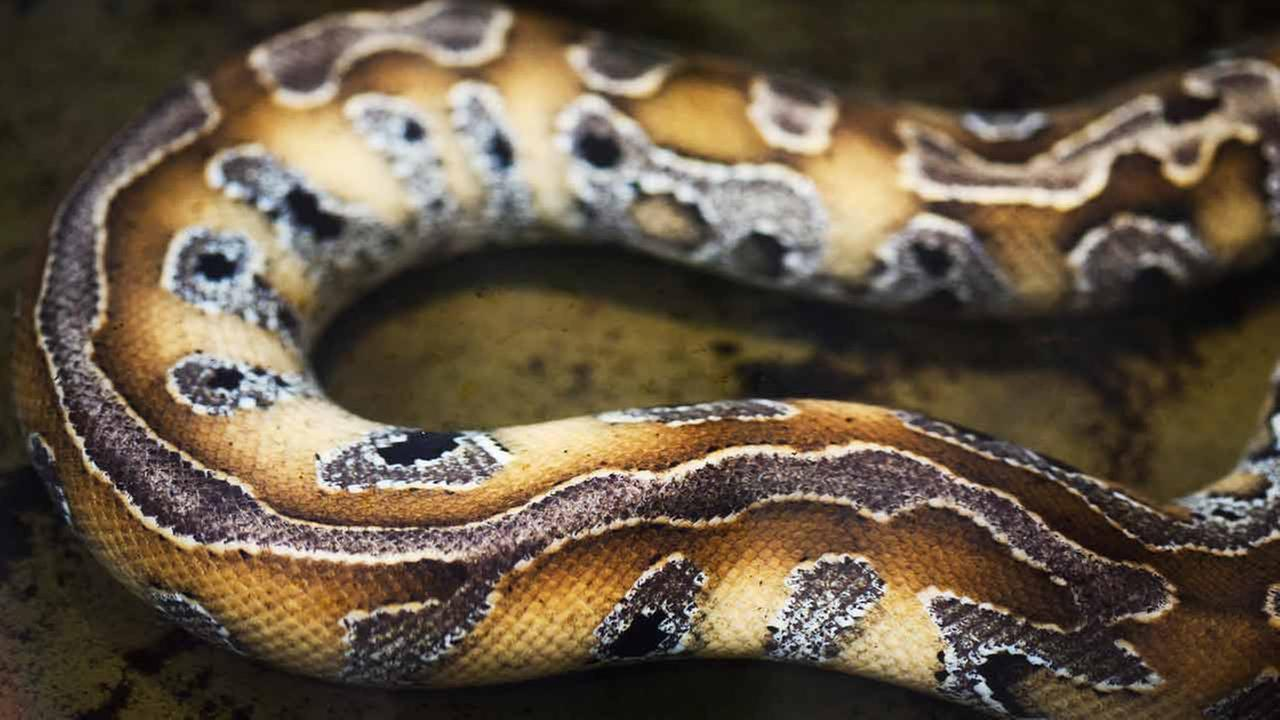 A 25-year-old Indonesian man has been swallowed whole by a python on the island of Sulawesi, villagers and news reports said.