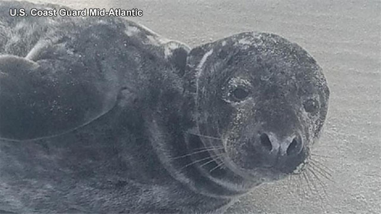 Pictured: A baby seal was rescued by the U.S. Coast Guard with assistance from the Marine Mammal Stranding Center.