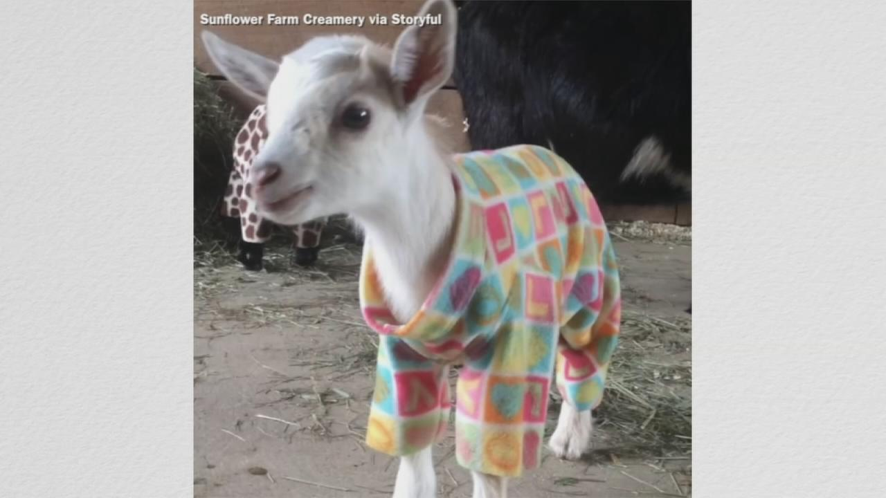 VIDEO: Newborn goats have adorable pajama party