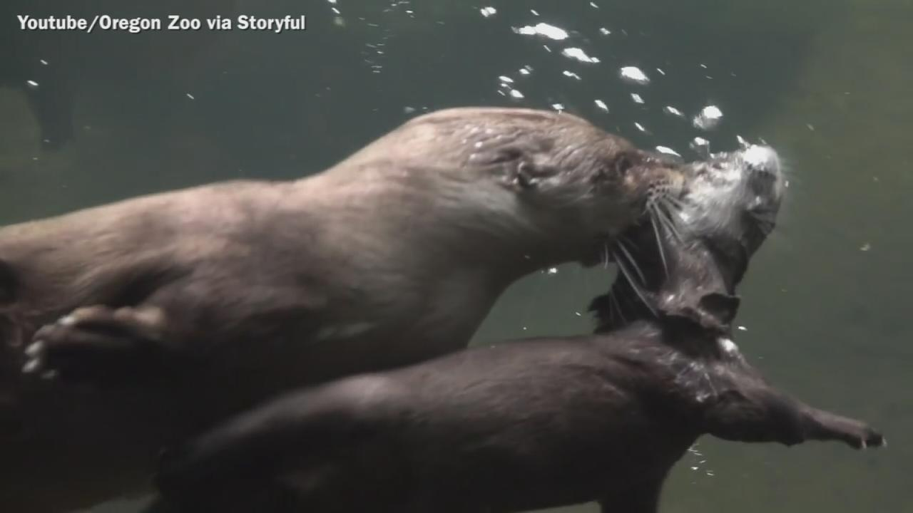 VIDEO: Otter pup learns to swim at Oregon Zoo