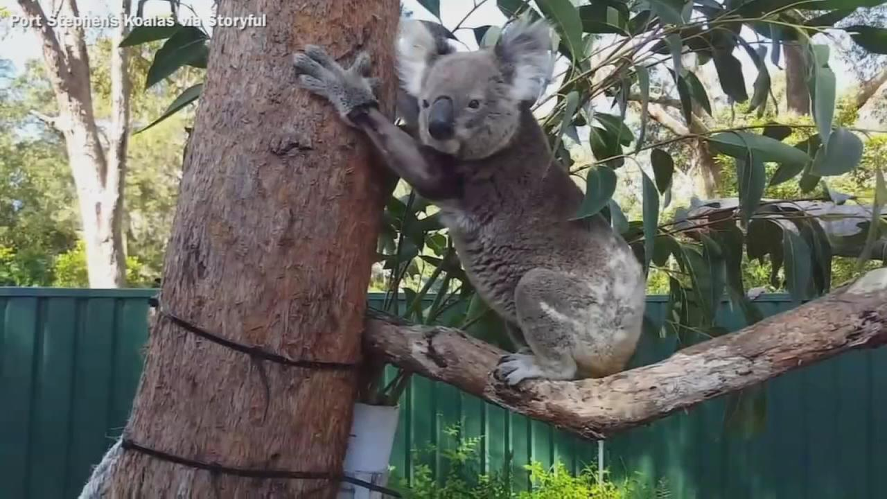 VIDEO: Koala climbs tree after 9 weeks in rehab