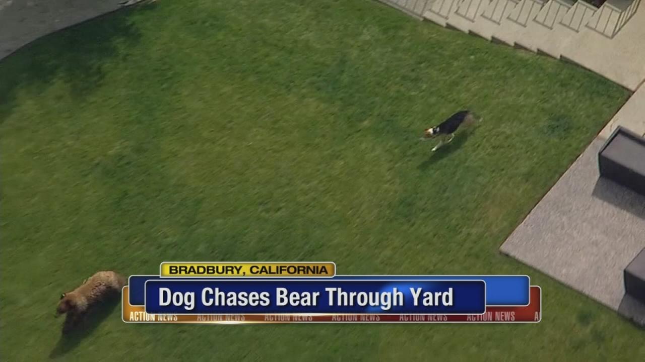 Dog chases bear through yard