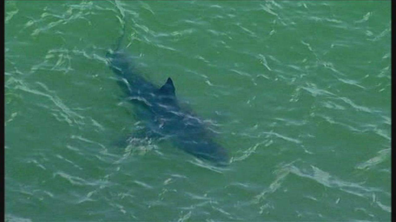 RAW: 10 great white sharks spotted off California coast