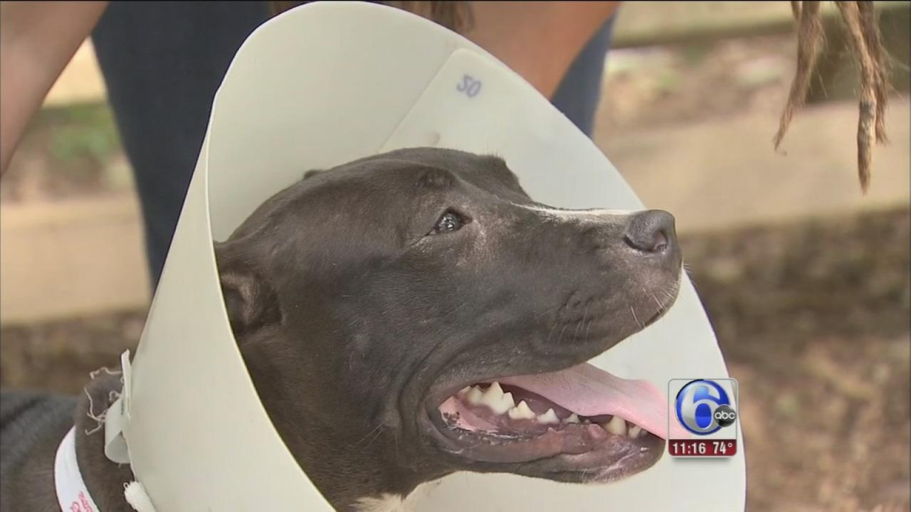 VIDEO: Pit bull found brutally stabbed in Chester