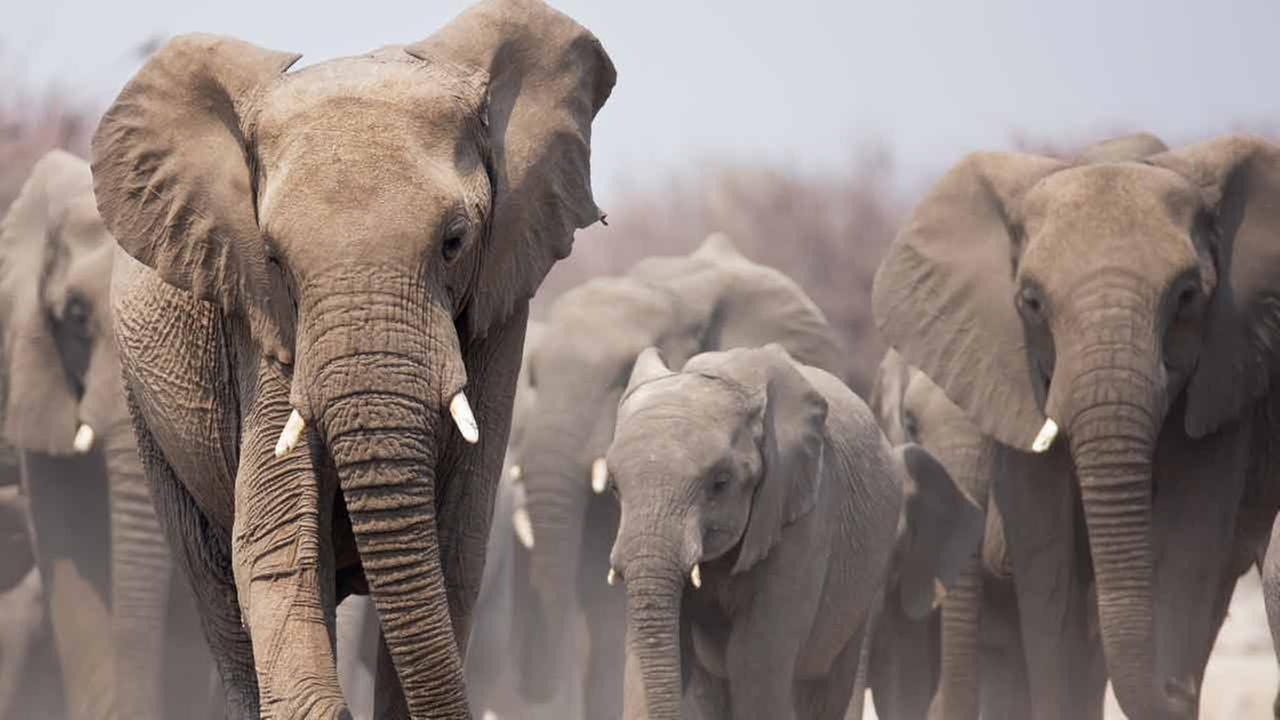 Stock photo of an elephant herd