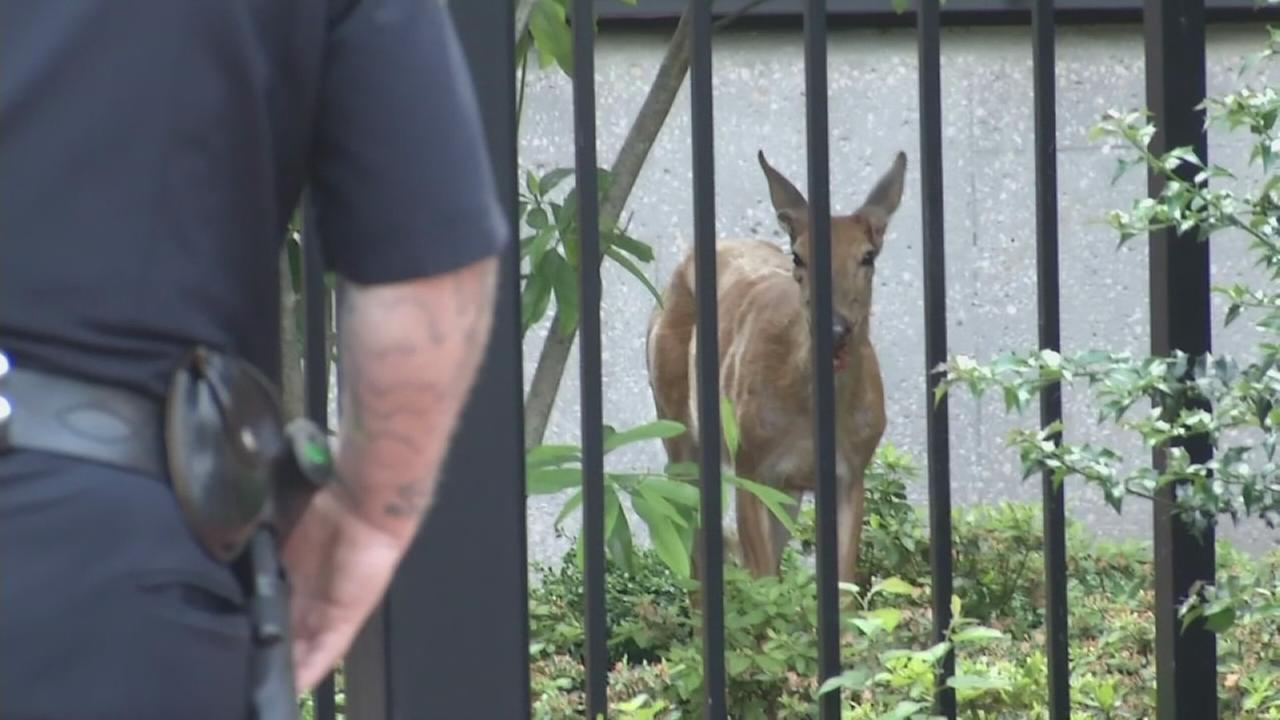 RAW VIDEO: Police corral wayward deer in downtown Wilmington