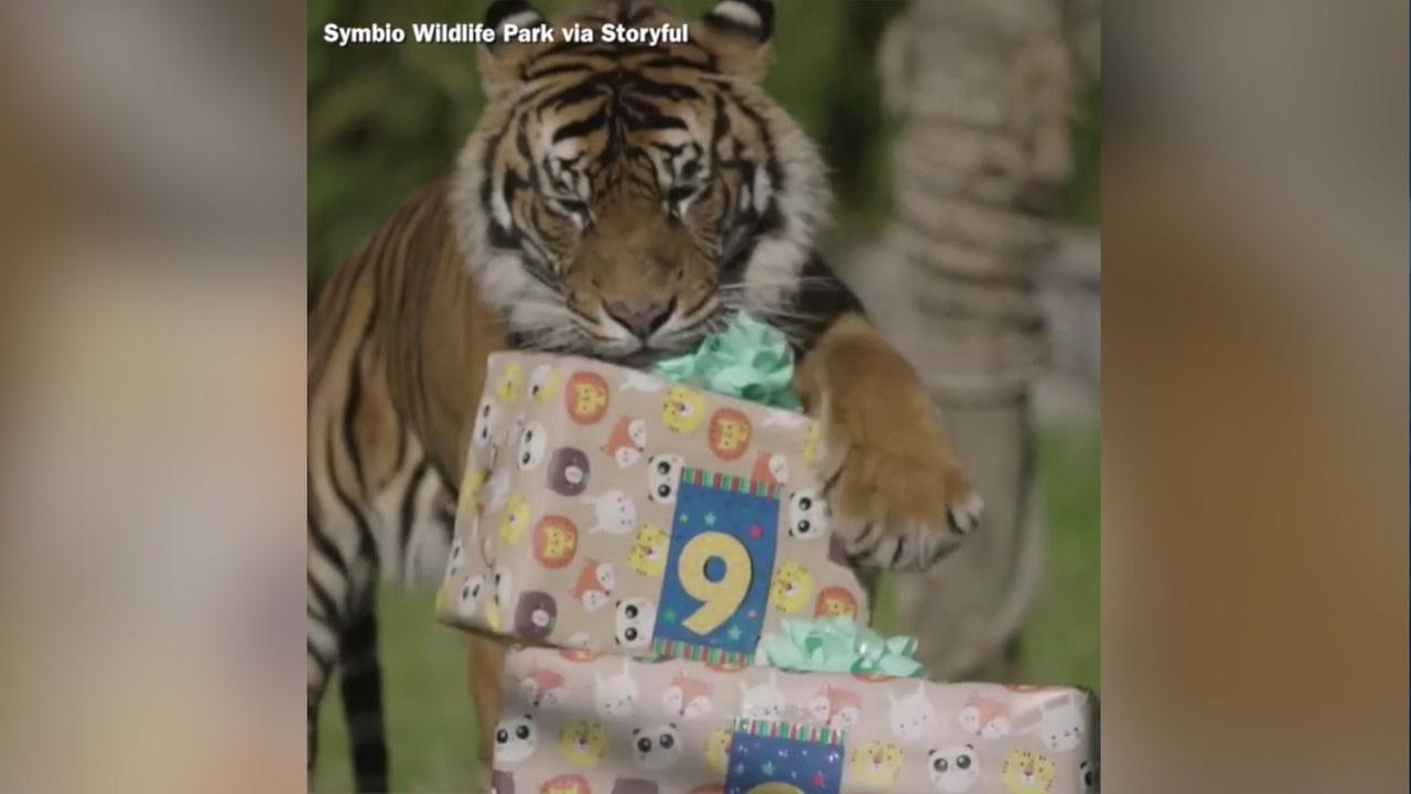 Sumatran tiger siblings Cinta and Jalur celebrated reaching middle-age by unwrapping some tasty treats.