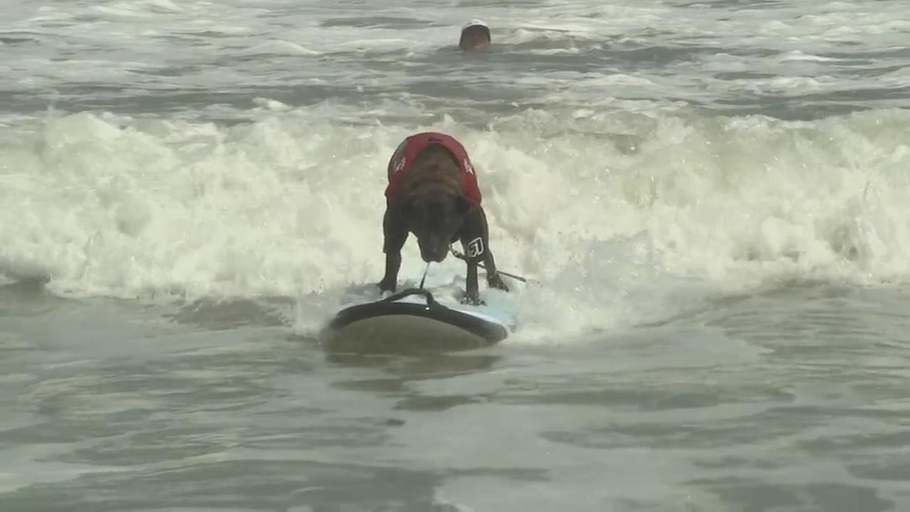 Dogs surfing to promote non-profit organization