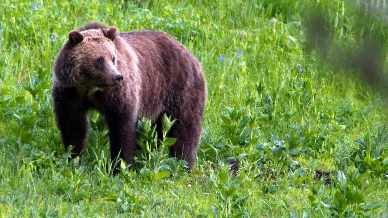 This July 6, 2011 photo shows a grizzly bear roaming near Beaver Lake in Yellowstone National Park.