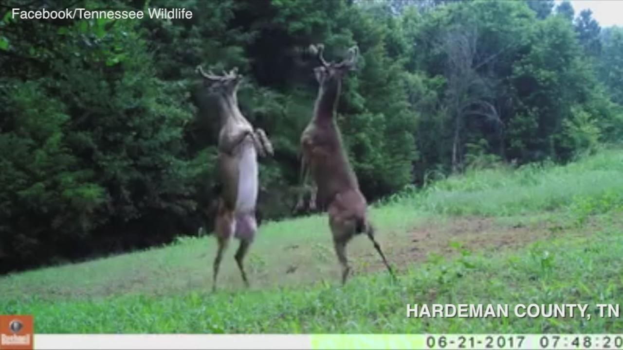 VIDEO: Bucks fighting in Tennessee
