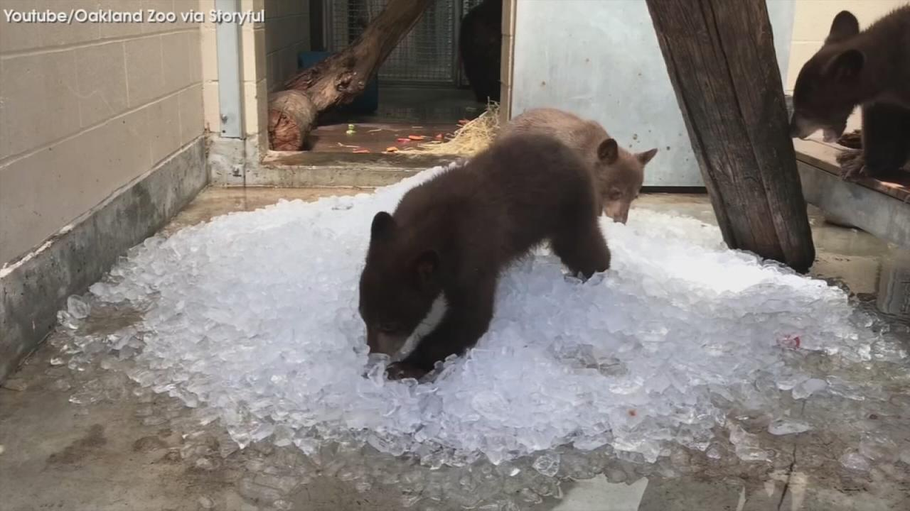 VIDEO: Bears play in ice in their new home.