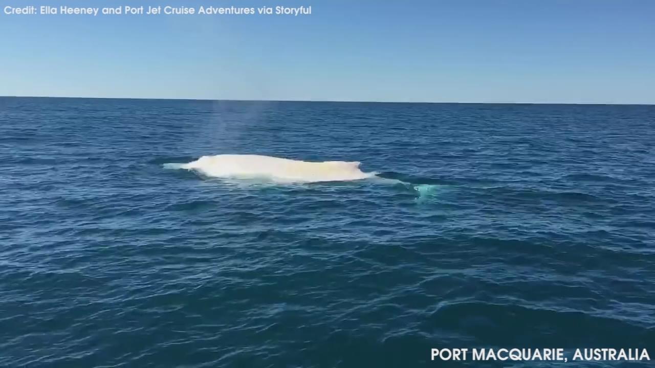 VIDEO: Albino whale