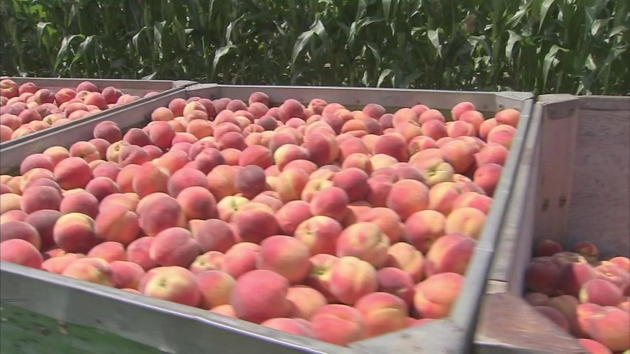 Jersey peaches are back and better than ever