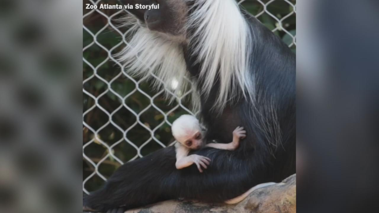 VIDEO: Baby Angolan colobus monkey born at Zoo Atlanta