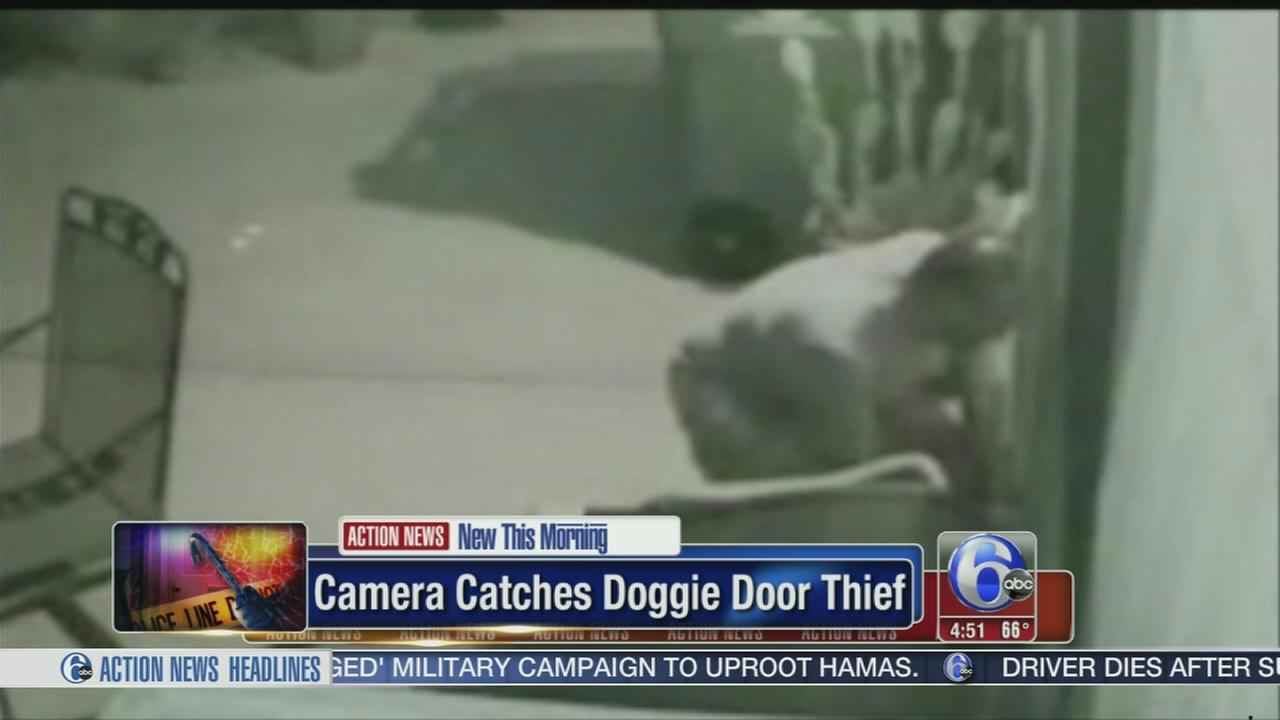 VIDEO: Camera catches doggie door burglar