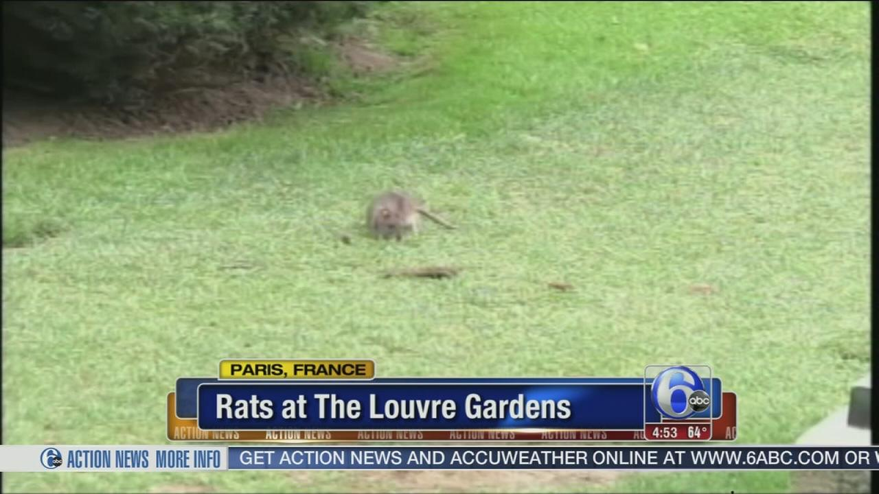VIDEOS: Rats run rampant at The Louvre Gardens