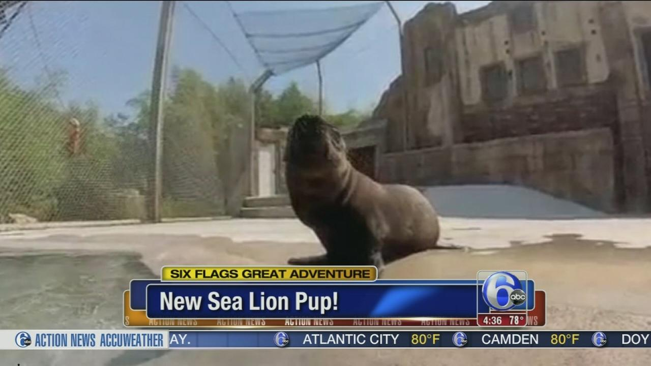 VIDEO: New sea lion pup at Six Flags