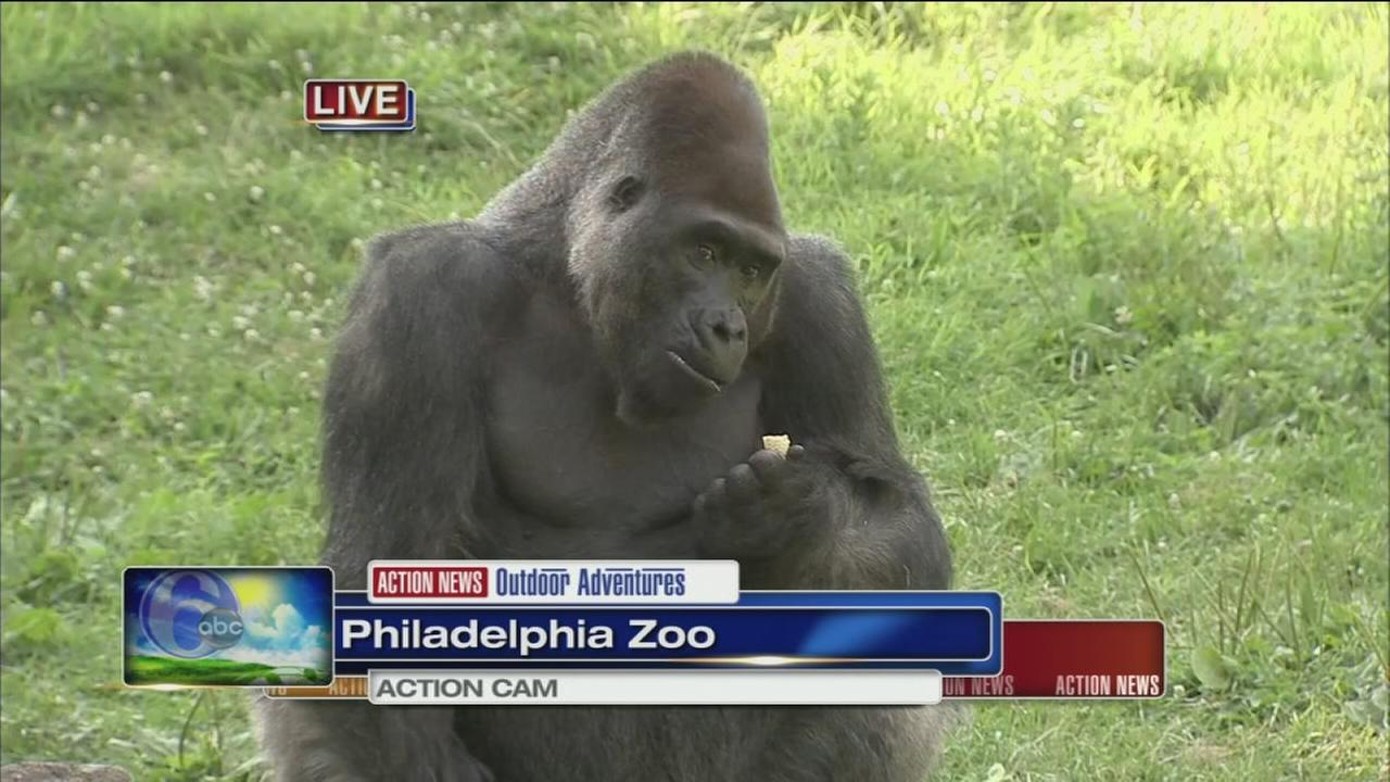 VIDEO: Cecily Tynan at the Zoo with gorillas