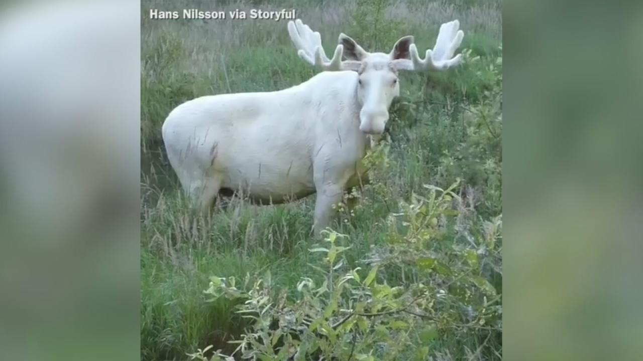 VIDEO: Rare white moose takes dip in Swedish lake
