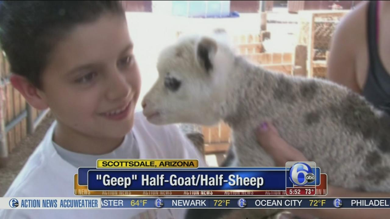 VIDEO: Baby goat-sheep hybrid makes friends at petting zoo