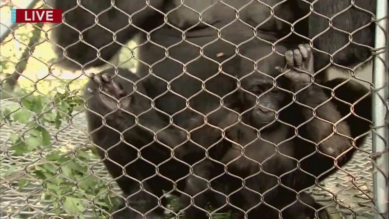 Cecily Tynan visits with a baby gorilla