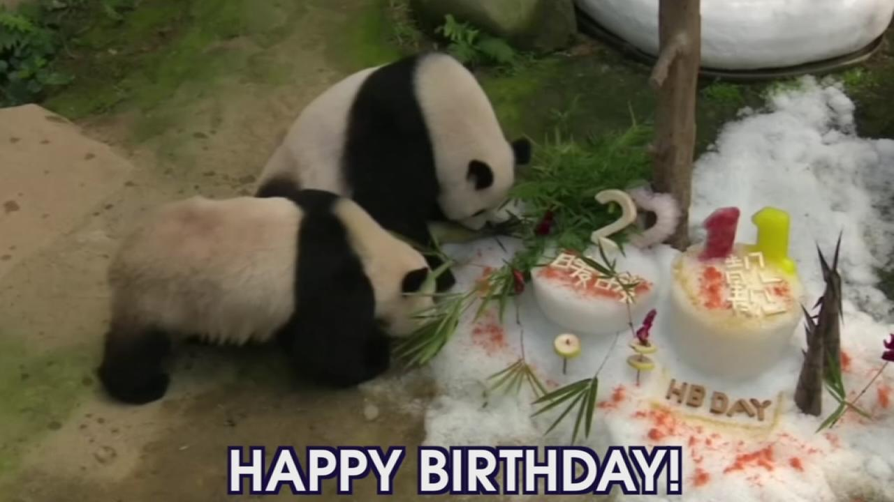 VIDEO: Pandas celebrate birthdays
