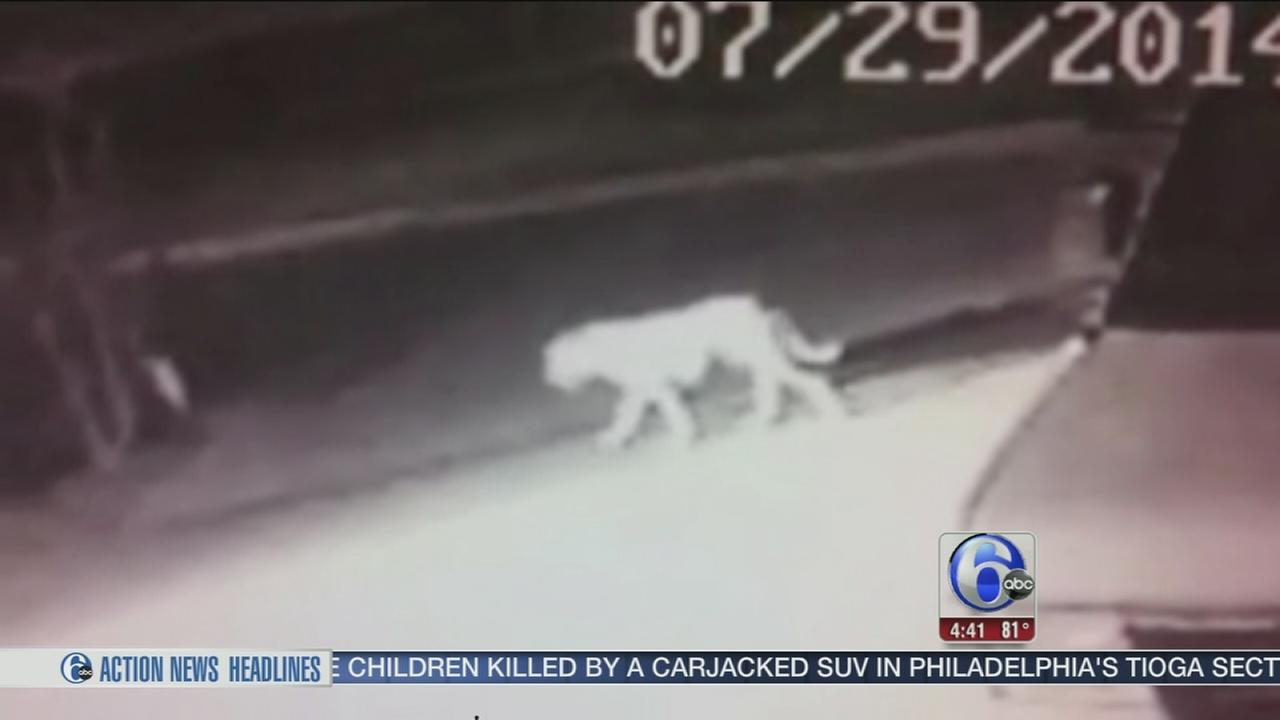 VIDEO: Is a mountain lion loose in Calif. neighborhood?
