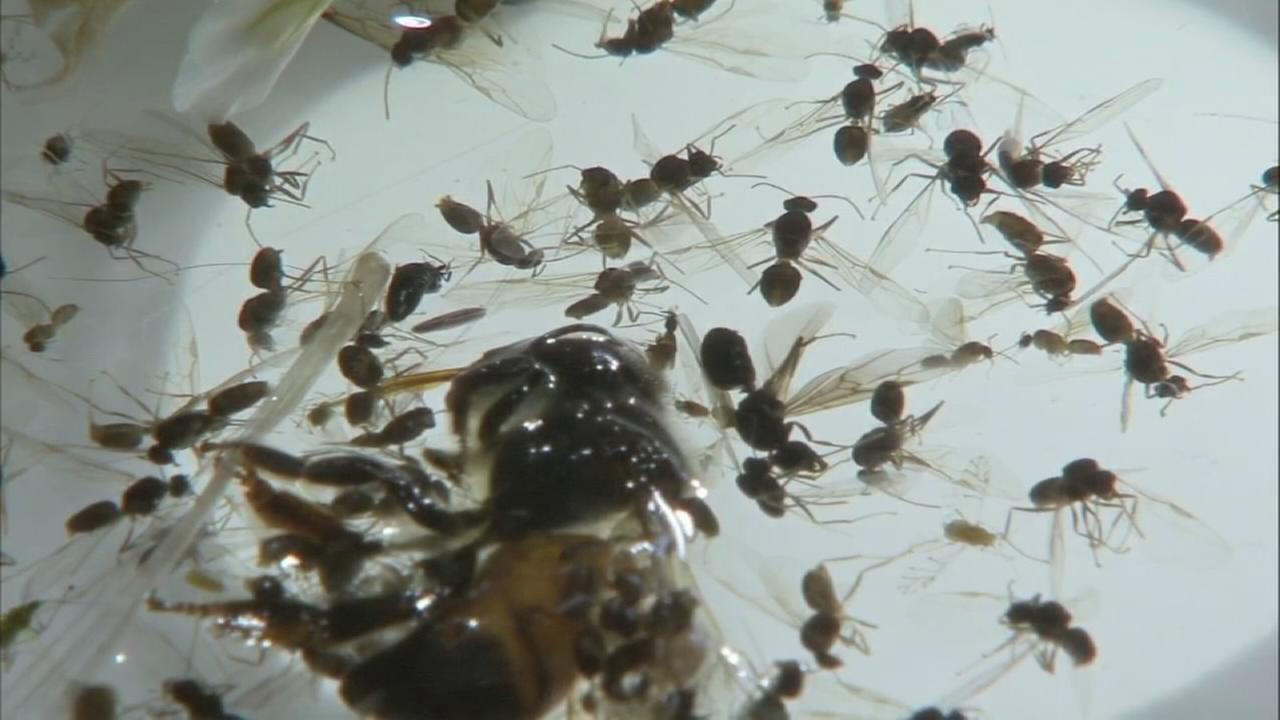 Flying ants swarm the Philadelphia area