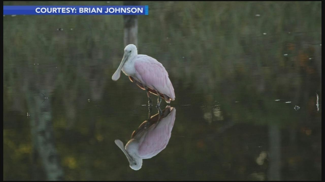 Roseate spoonbill spotted in New Jersey