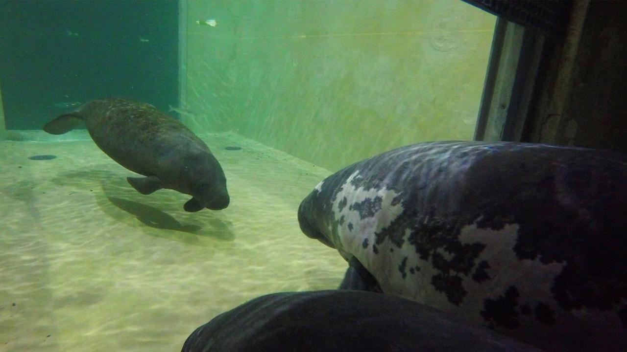 An 18-month-old female manatee has arrived at the Columbus Zoo and Aquarium from a zoo in Tampa, Florida.