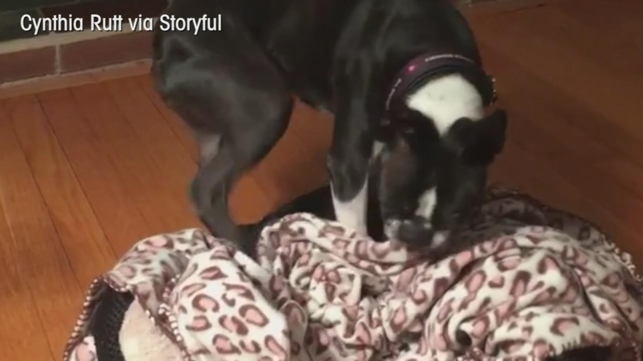 VIDEO: Dog makes its own bed