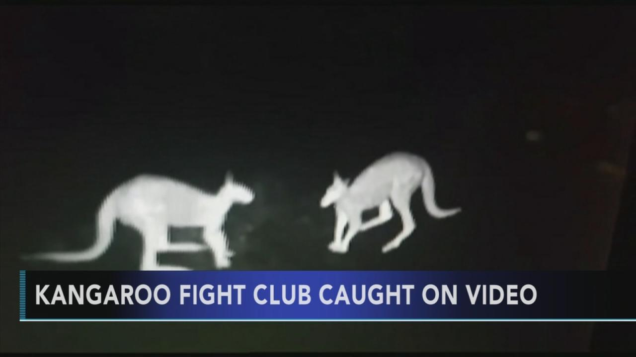 Kangaroo fight club caught on video