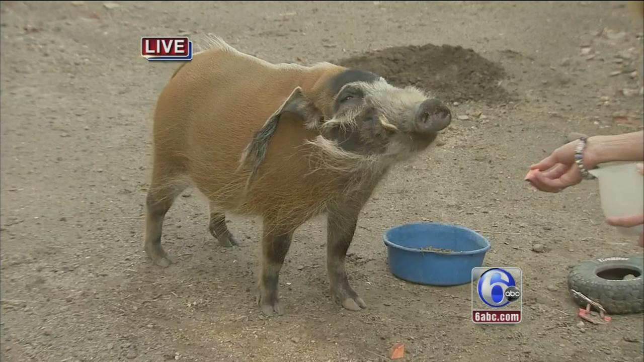 VIDEO: Cecily at the Zoo with Hamilton the hog