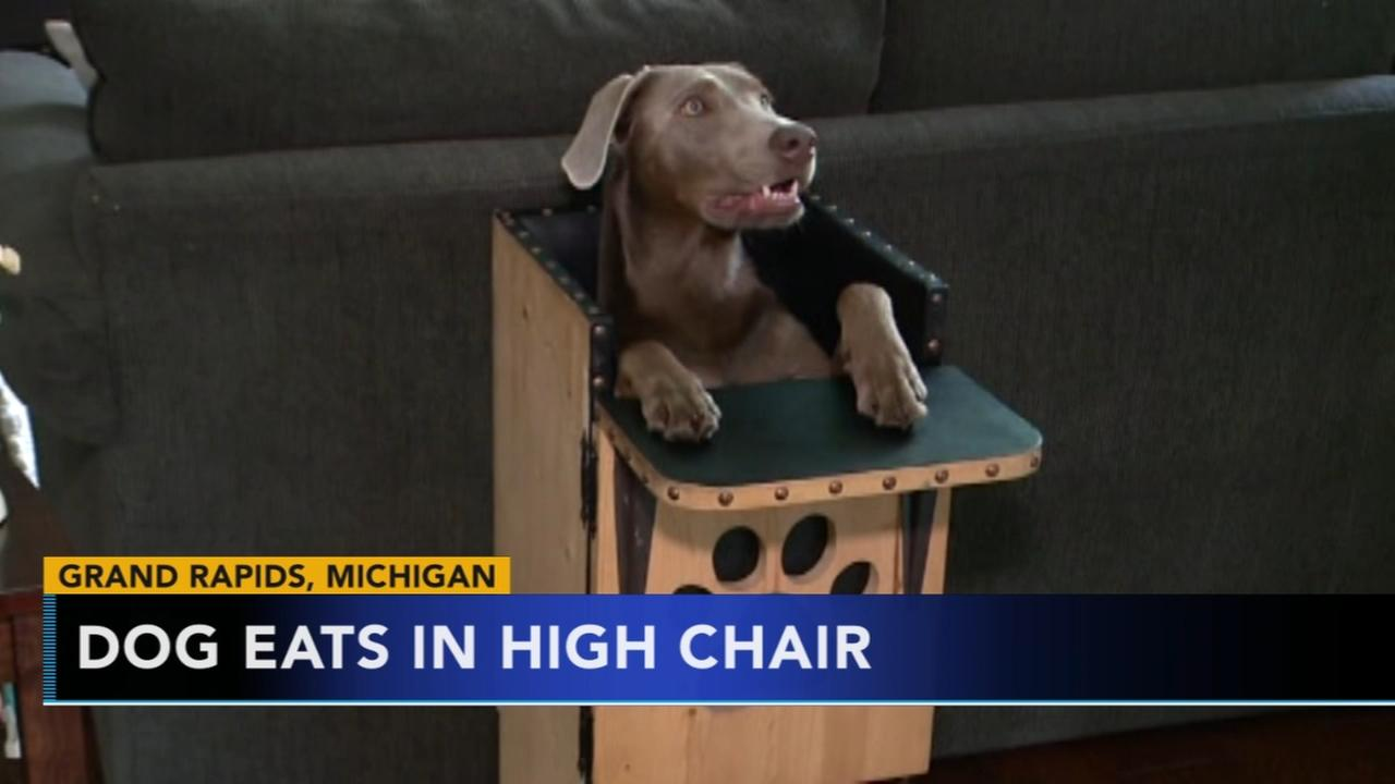Dog eats in high chair