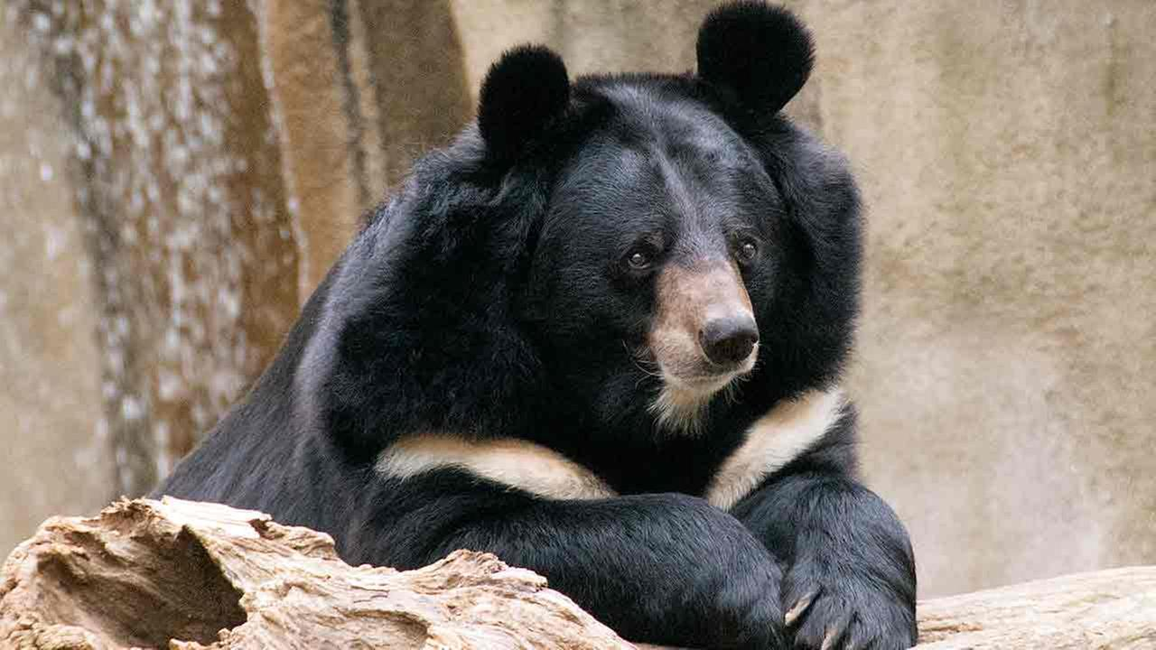 Philadelphia Zoo announces the death of their beloved Asiatic black bear, Ben.