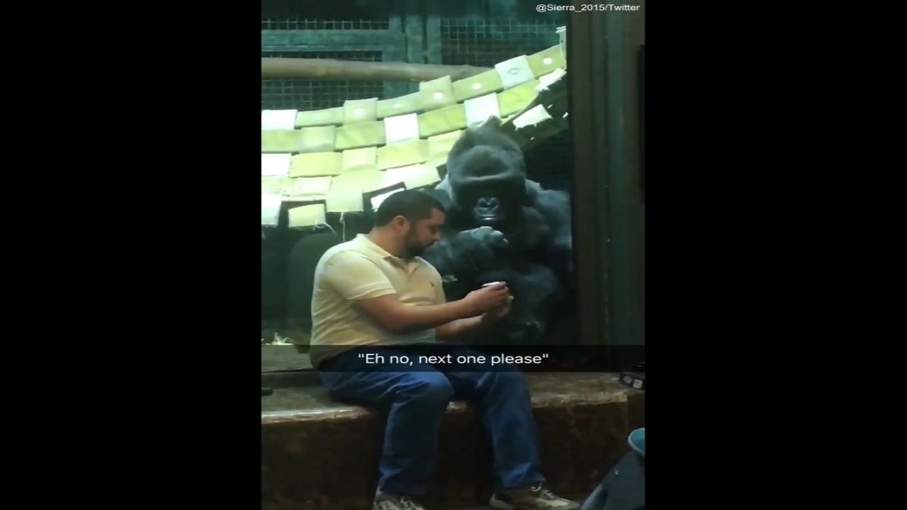 Gorilla at Louisville Zoo wants man to swipe right on his photos