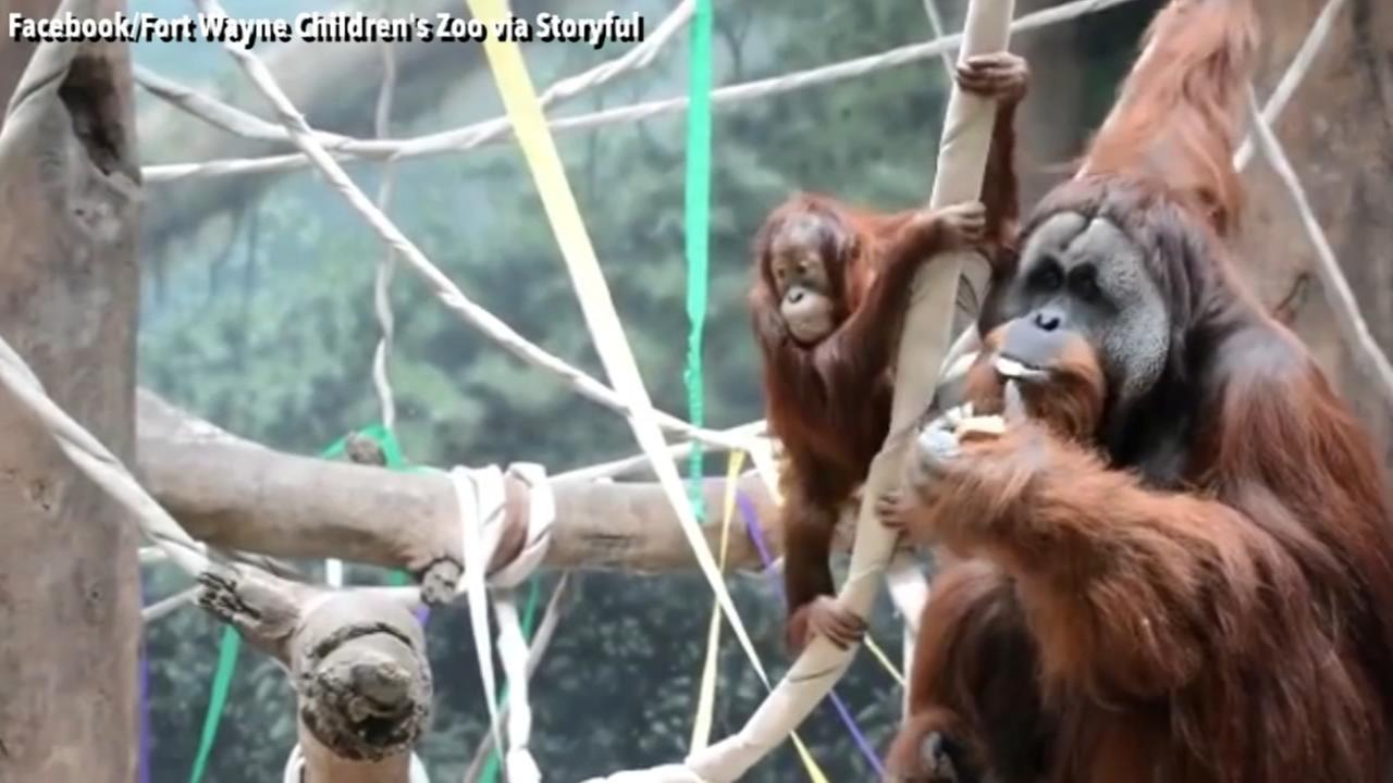 Young Orangutan celebrates her third birthday with special treats