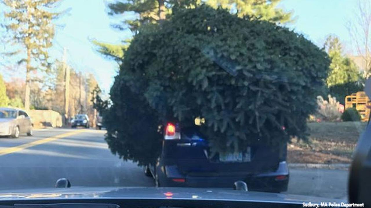 Police pull over auto transporting very large Christmas tree on top
