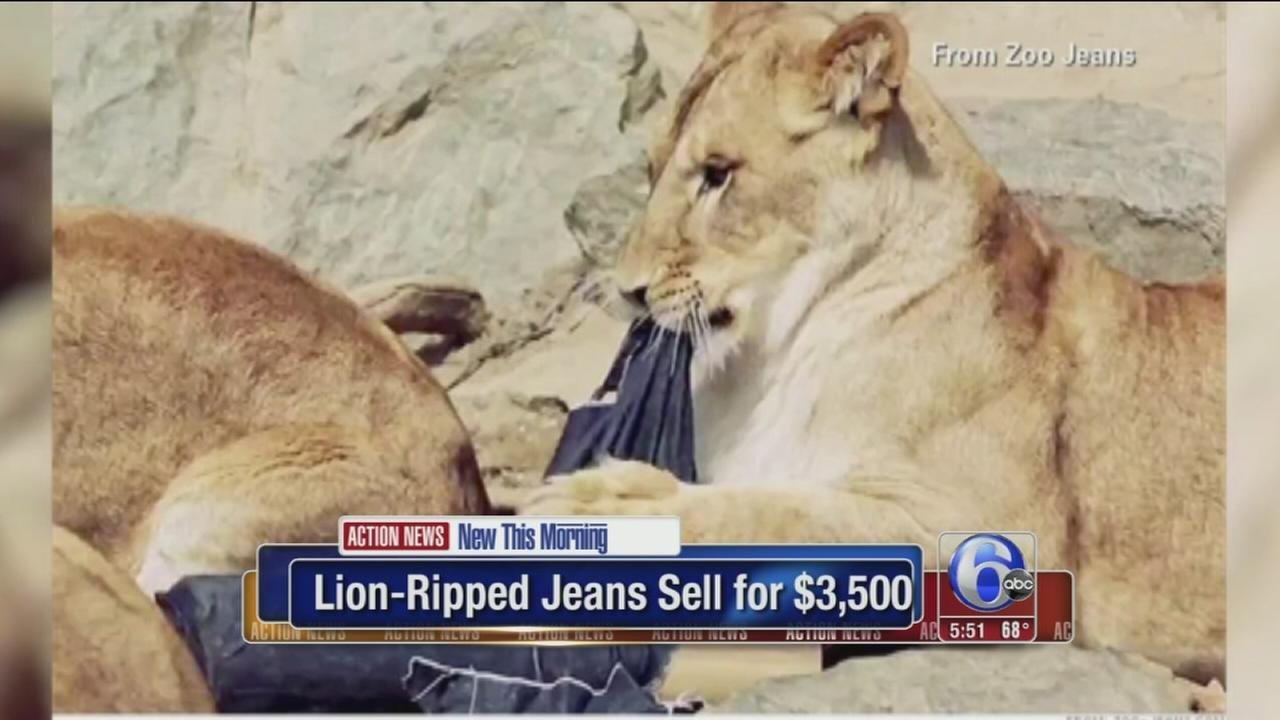 VIDEO: Lion-ripped jeans selling for big bucks