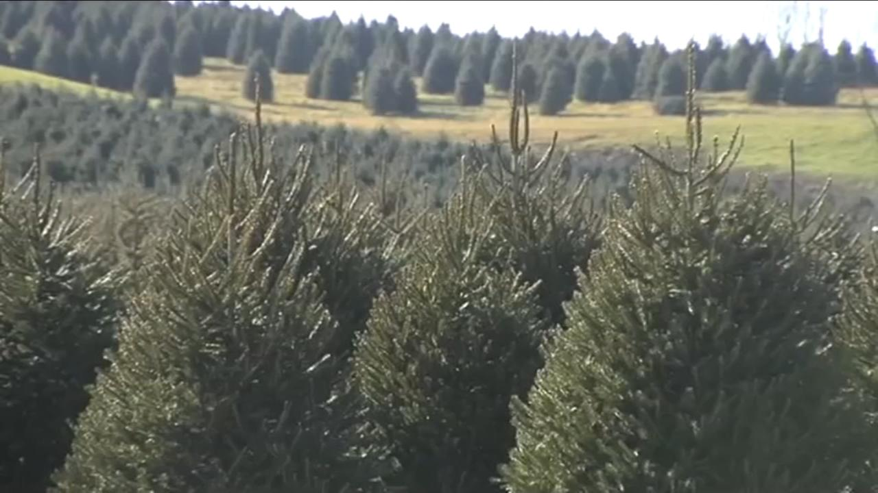 VIDEO: Christmas tree shortage impacts Pa. farm