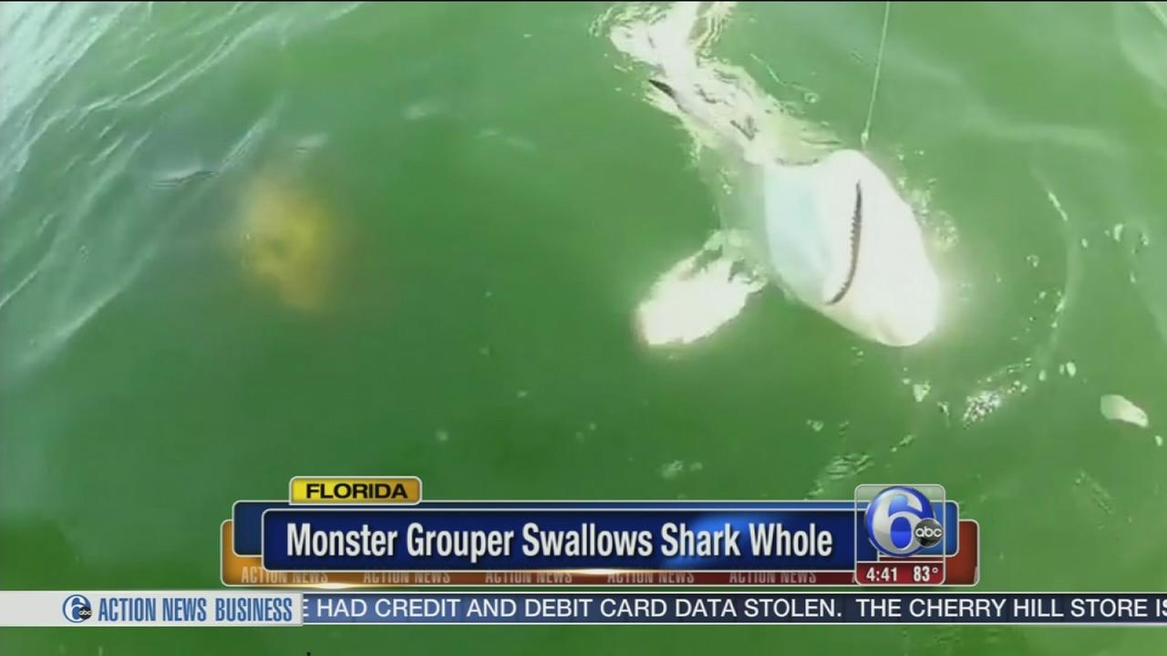 VIDEO: Grouper swallows shark in single bite
