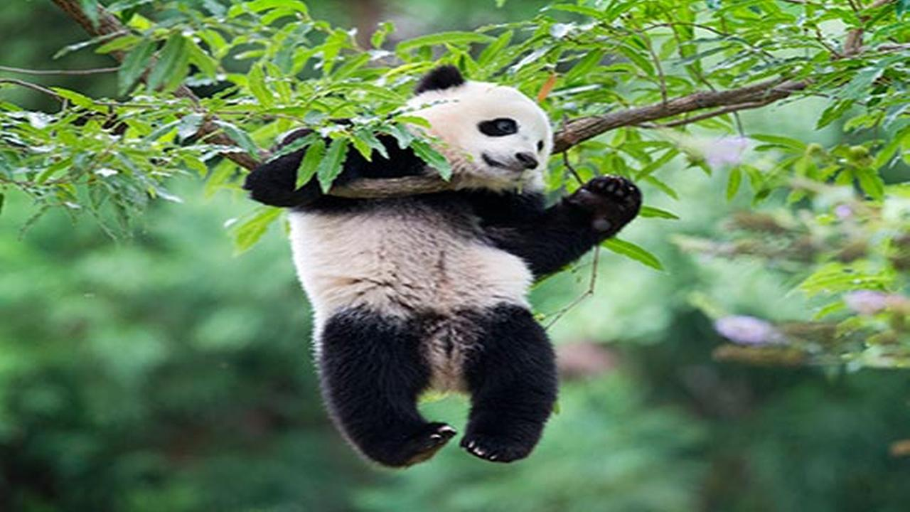 National Zoo celebrating pandas first birthday