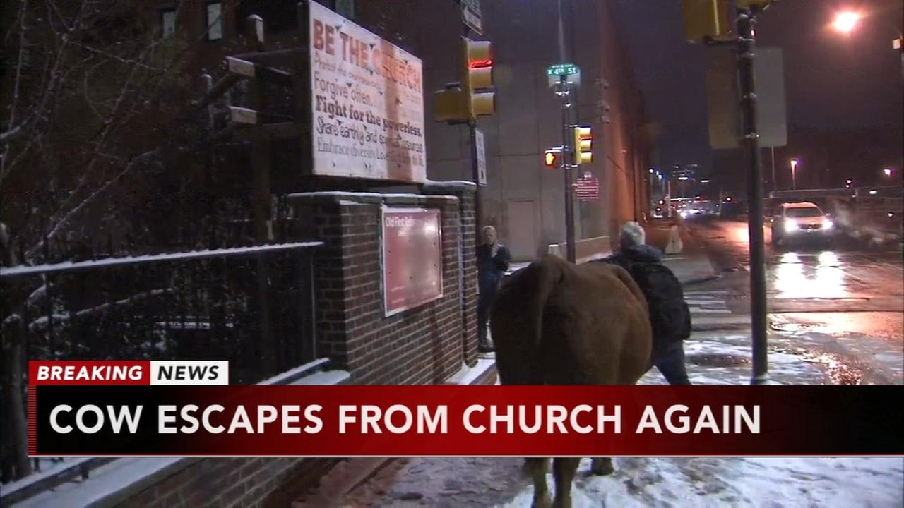 Cow escapes again