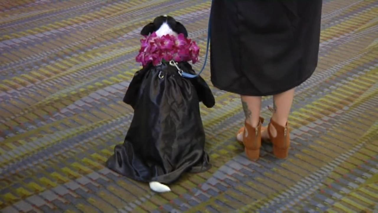 Service dog walks stage with graduate