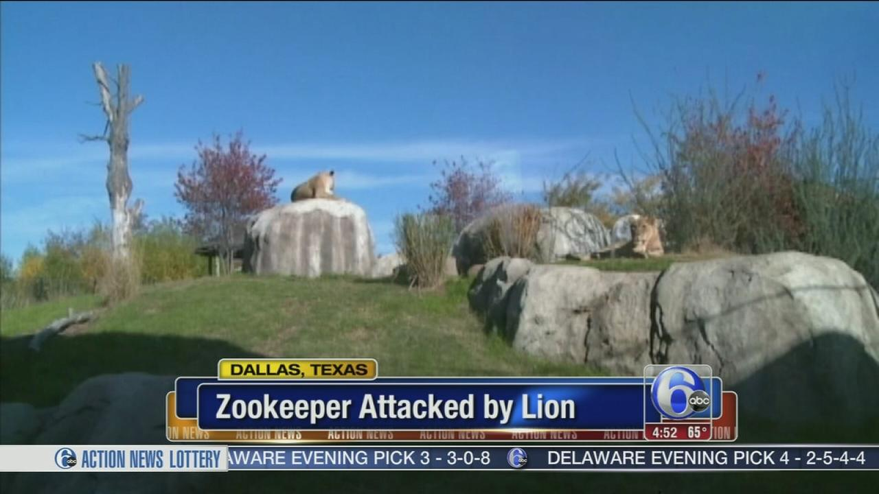 VIDEO: Lion attacks female zookeeper