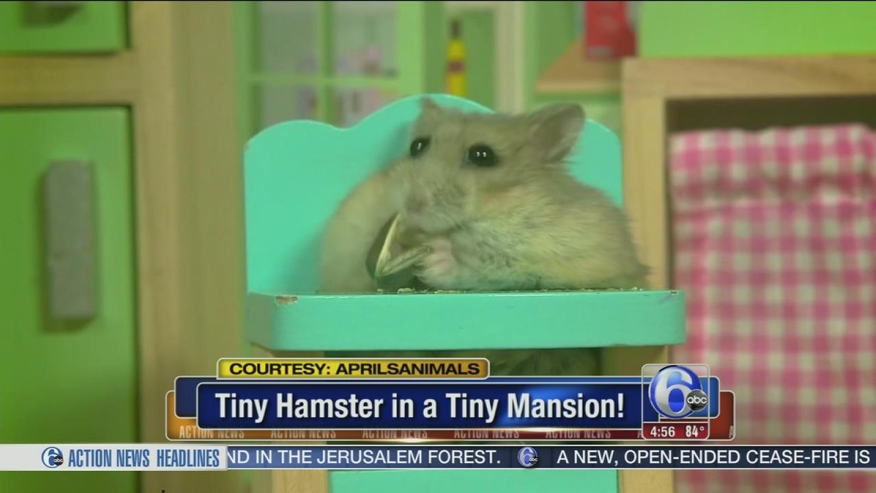 VIDEO: Hamster hangs out in tiny mansion
