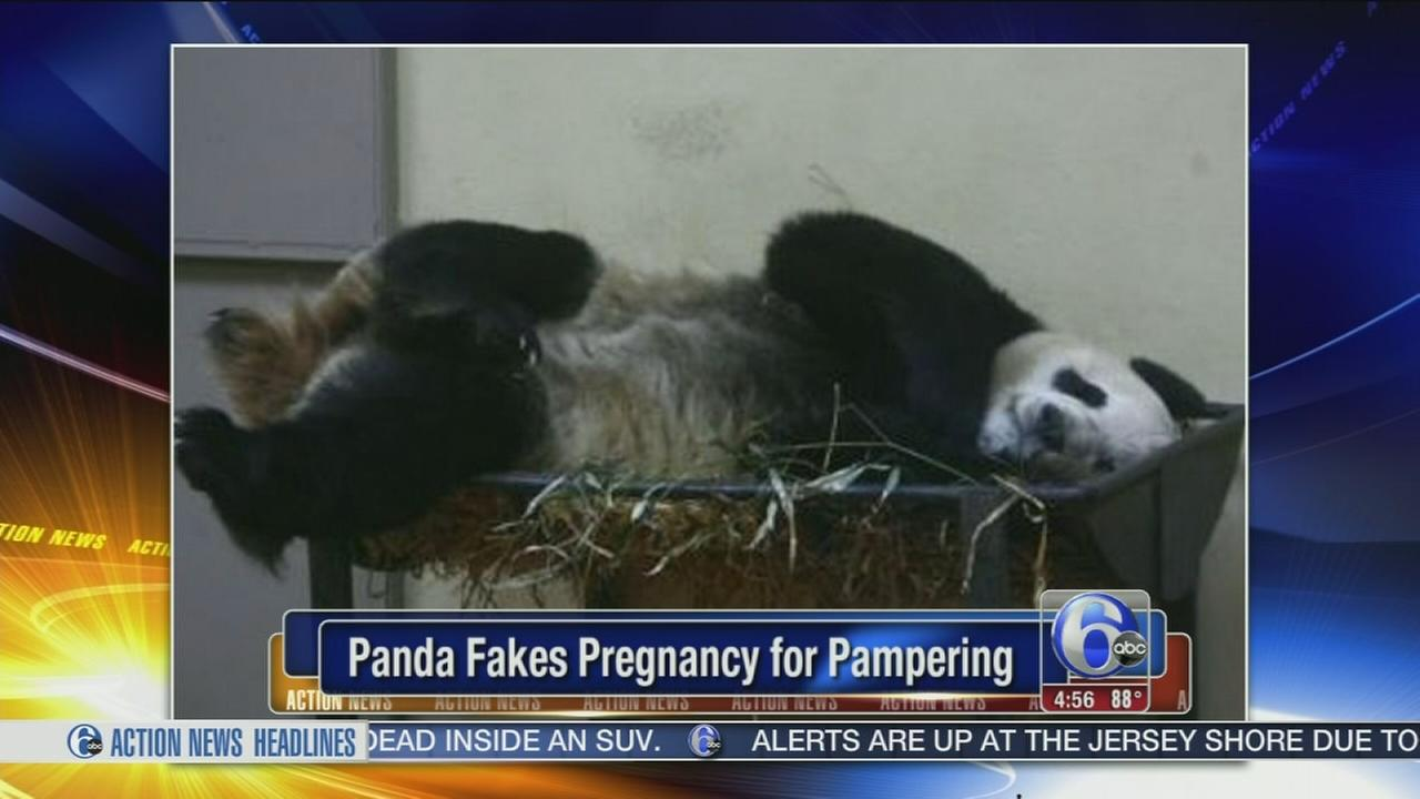 VIDEO: Panda faked pregnancy for better food